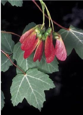 Acer opalus subsp. granatense